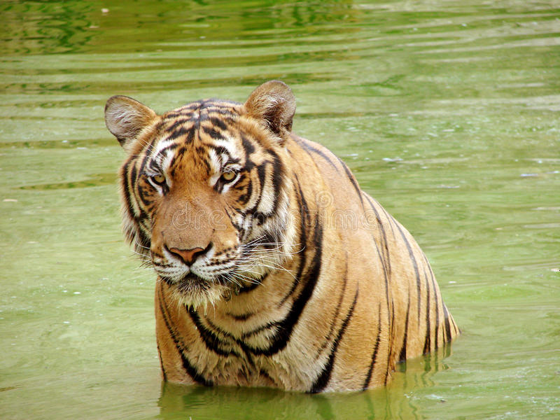 Tiger in a water royalty free stock images