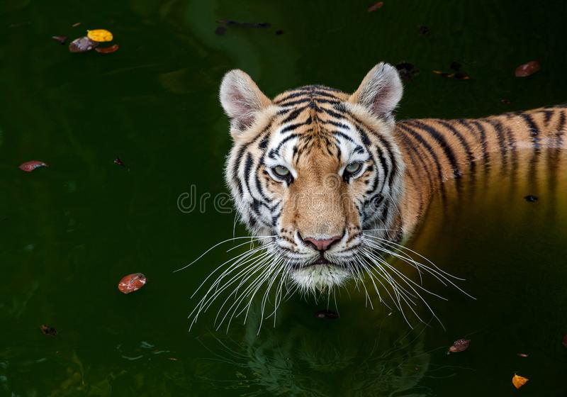 Tiger in the water. royalty free stock images