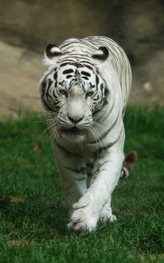 tiger white στοκ εικόνα