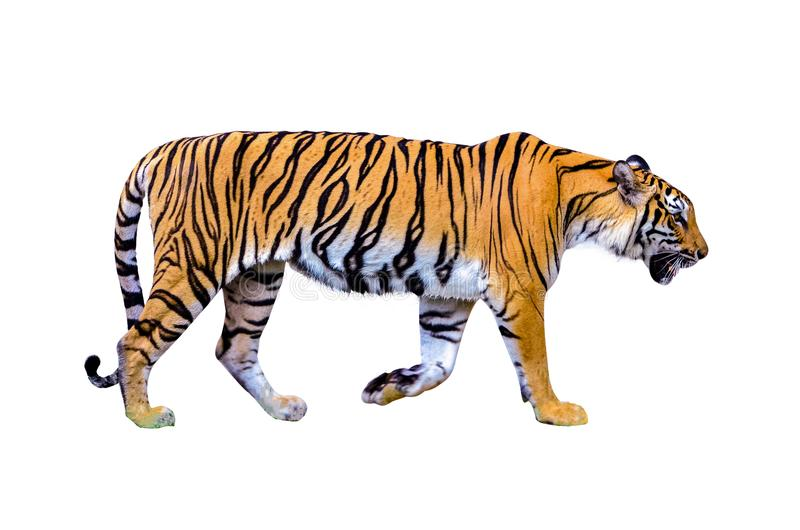 Tiger White background Isolate full body royalty free stock image