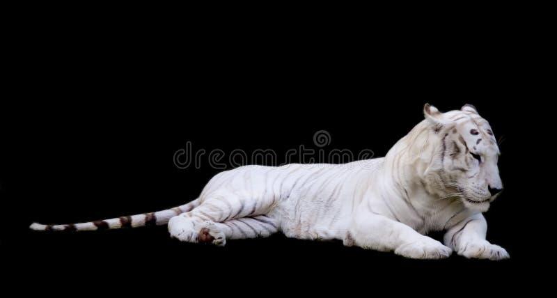 Tiger White With Black Background photographie stock libre de droits
