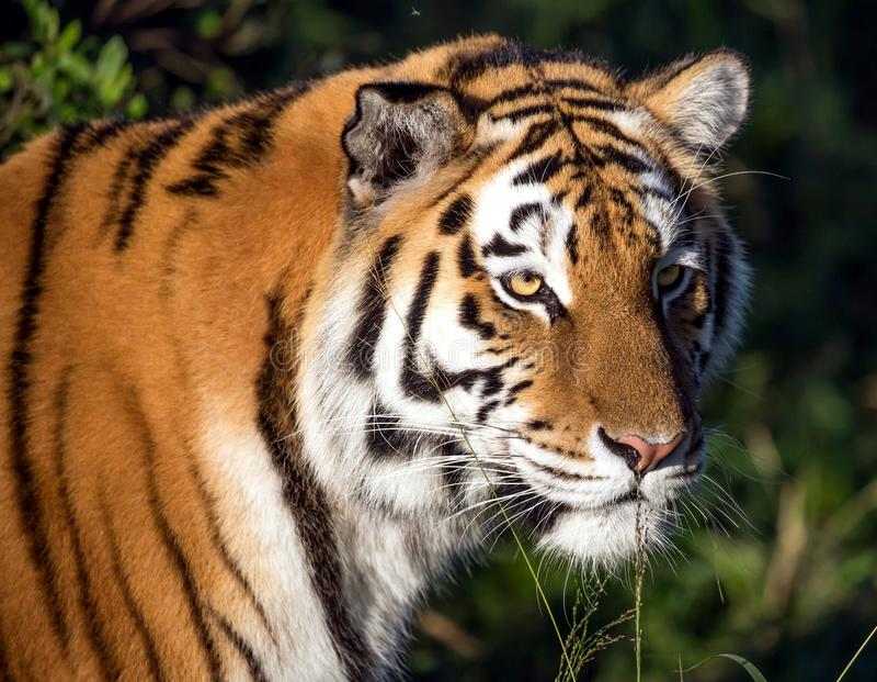 Tiger Wild Cat lizenzfreies stockbild