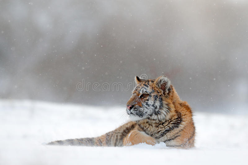 Tiger in wild winter nature. Amur tiger lying in the snow. Action wildlife scene, danger animal. Cold winter, tajga, Russia. Snow. Tiger in wild winter nature stock images