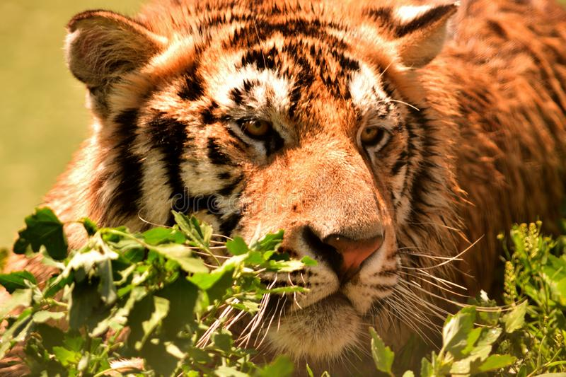 Tiger in wilderness. Real closeup and eye level shot royalty free stock photos