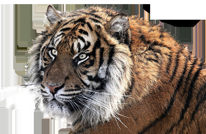 Tiger, Wildlife, Mammal, Fauna stock images
