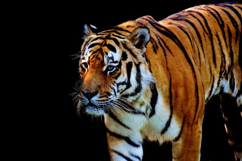 Tiger, Wildlife, Mammal, Terrestrial Animal royalty free stock image