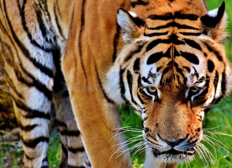 Tiger, Wildlife, Mammal, Terrestrial Animal stock photo