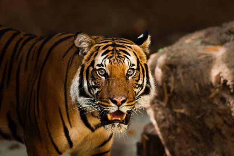 Tiger, Wildlife, Mammal, Terrestrial Animal royalty free stock images