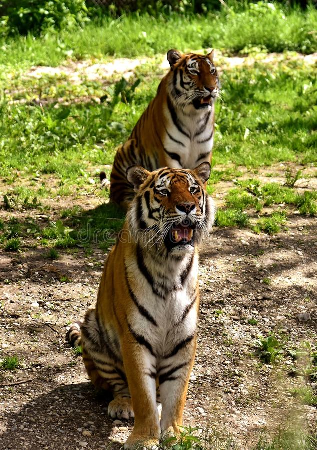 Tiger, Wildlife, Mammal, Terrestrial Animal stock photography
