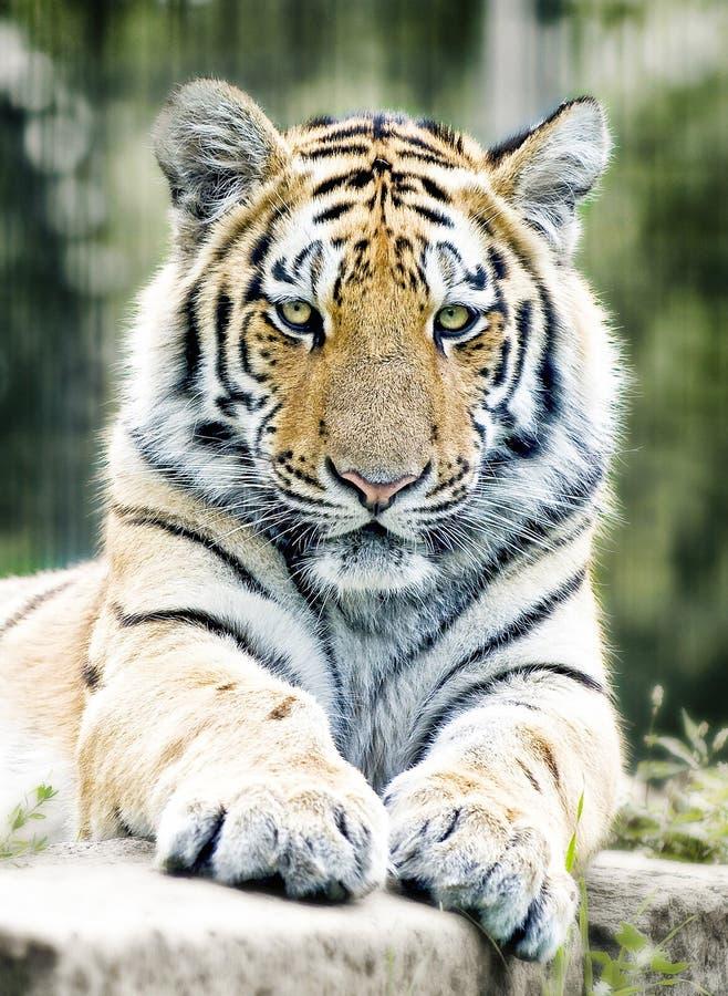 Tiger, Wildlife, Mammal, Terrestrial Animal royalty free stock photos