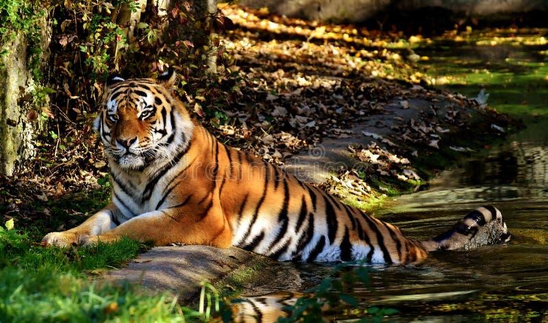 Tiger, Wildlife, Mammal, Wilderness Free Public Domain Cc0 Image