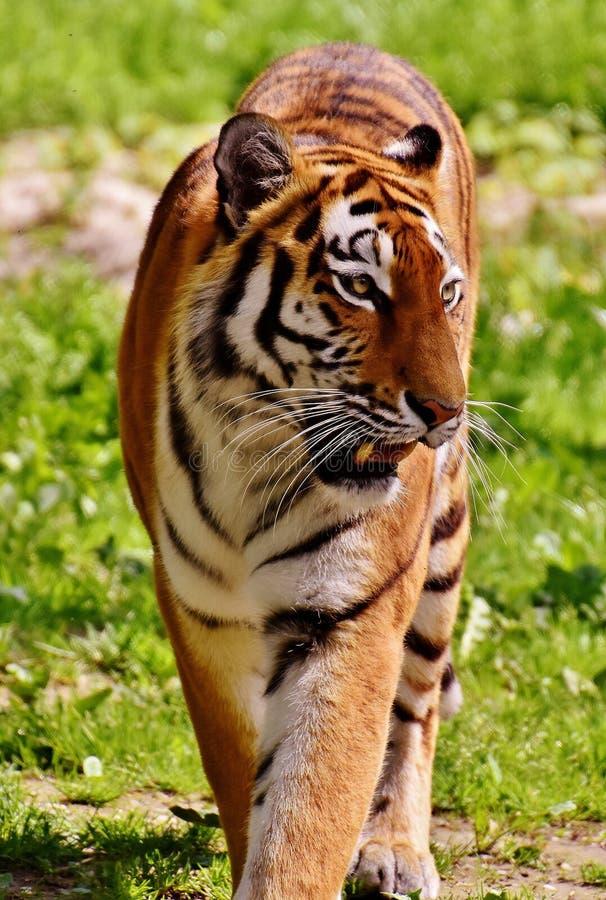Tiger, Wildlife, Terrestrial Animal, Mammal stock photos