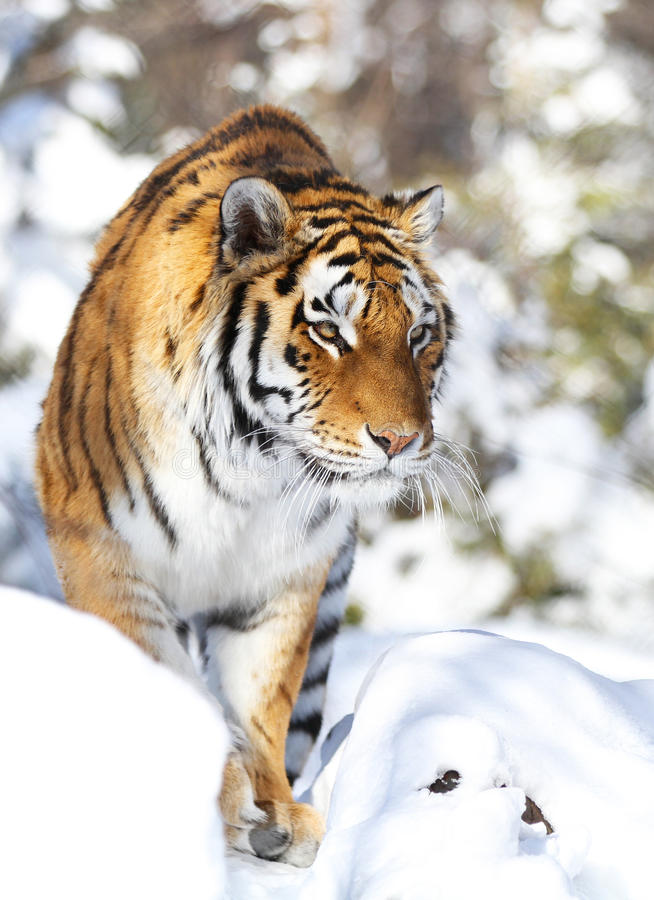 Download Tiger in winter stock photo. Image of hair, large, direct - 18711056