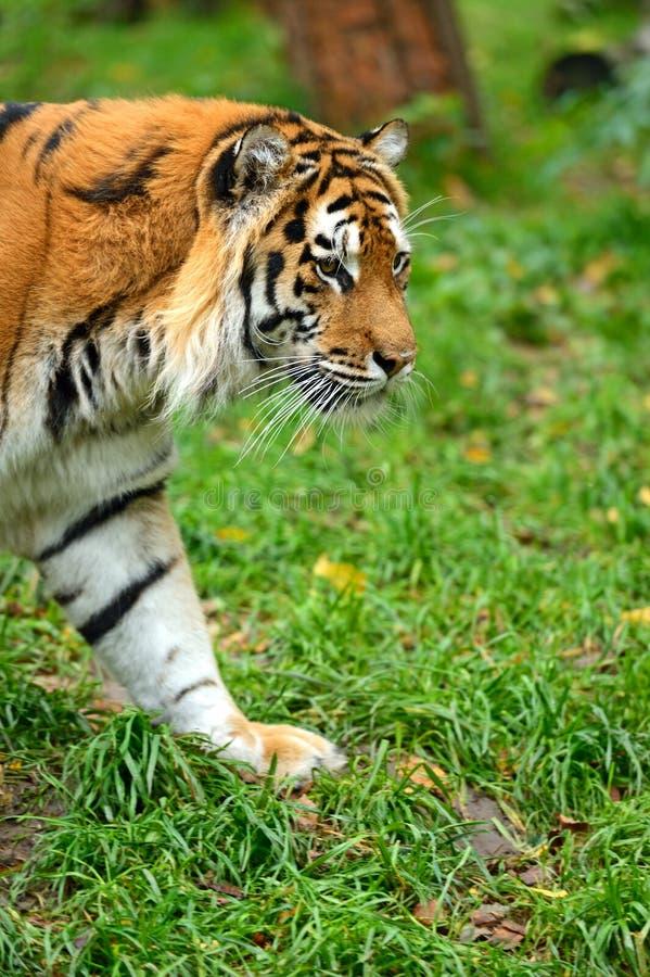Tiger Winter Stock Photos