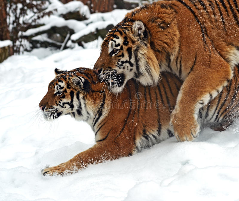 Download Tiger In Winter Royalty Free Stock Image - Image: 28607906