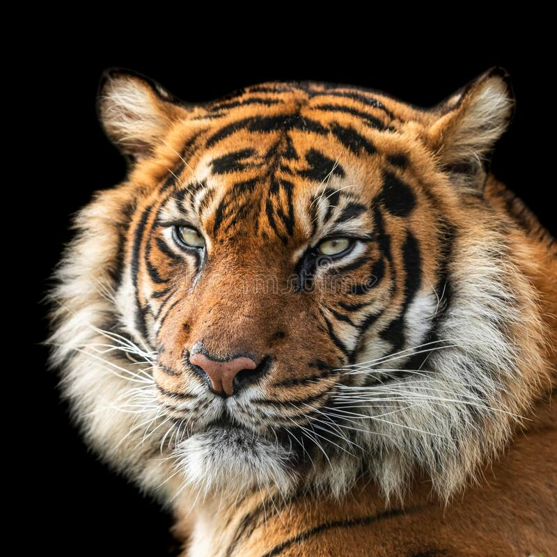 Free Tiger With A Black Background Stock Photos - 176515243