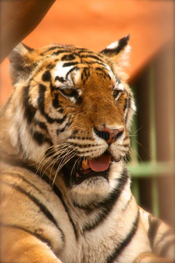 Tiger Yawn lizenzfreie stockfotografie