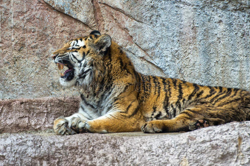 Tiger while yawning. Close up portrait royalty free stock photography