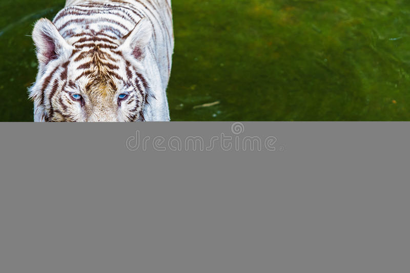 Download Tiger in zoo stock image. Image of nature, beast, hair - 25714455