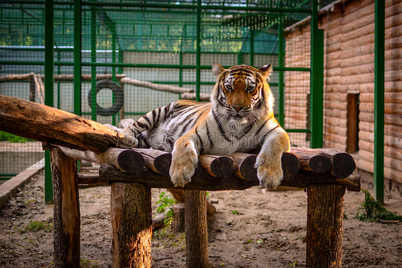 Tiger at the Zoo. Resting tiger at the Zoo stock image