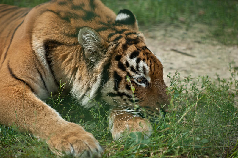 Tiger in zoo. Sad tiger resting in aviatory in zoo stock images