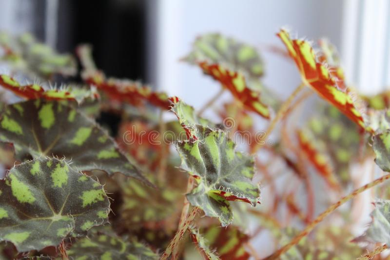 Tigerbegonie, Begonienlaub, Begonienc$bauer-foto Houseplants lizenzfreie stockfotos