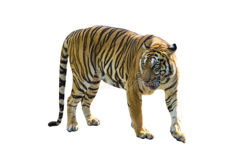 Tigerbilder på vit bakgrund har olika verber royaltyfri foto
