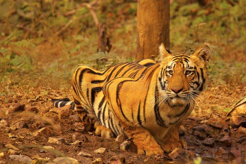 TigerChandi manlig gröngöling, Panthera tigris, Umred-Karhandla fristad, Maharashtra fotografering för bildbyråer