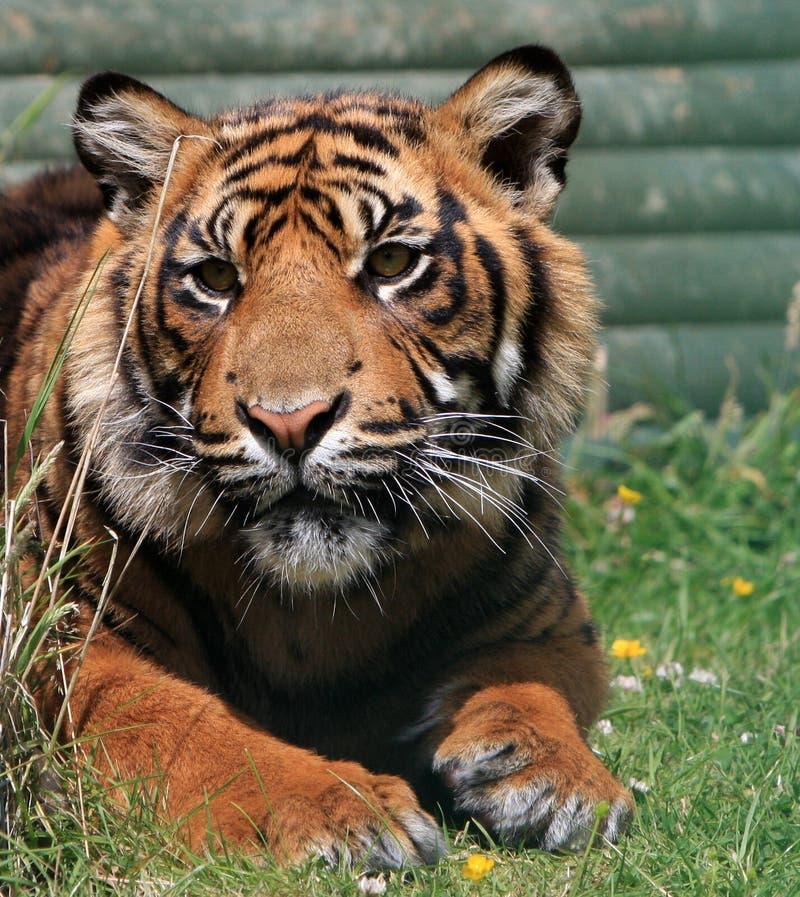 Tigerdjur   arkivfoto