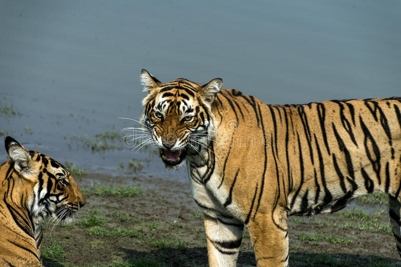 Tigeress Krishna com seu filhote fotos de stock royalty free