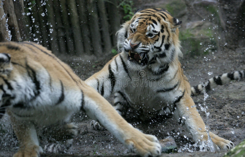 Tigerface de miroir photo stock
