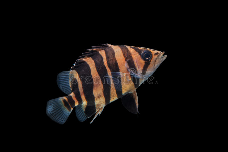 Tigerfish imagem de stock royalty free