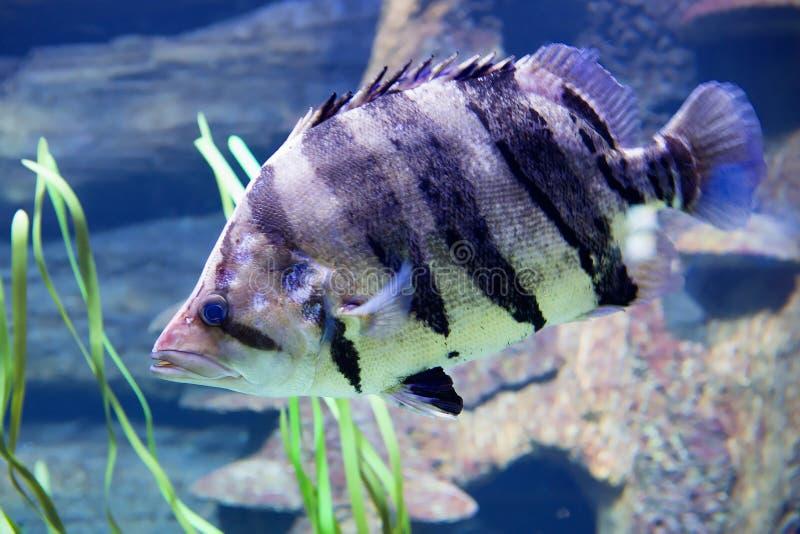 Tigerfish Siamese dos peixes imagens de stock royalty free