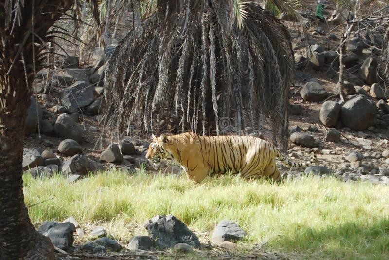 Tigerforsar royaltyfria bilder