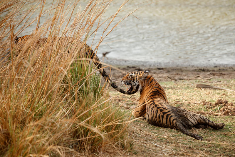 Tigergeschwister in einem schönen Licht im Naturlebensraum Nationalparks Ranthambhore stockbild