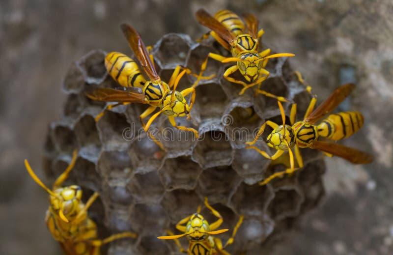 Tigergetingar på deras hårkam fotografering för bildbyråer
