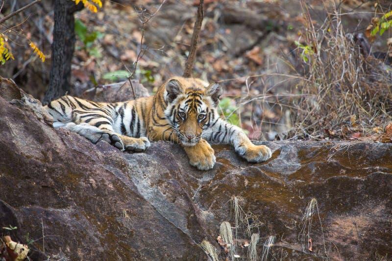 Tigergr?ng?ling i djungeln royaltyfri bild