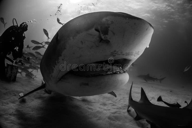 Tigerhai Bahamas stockbild