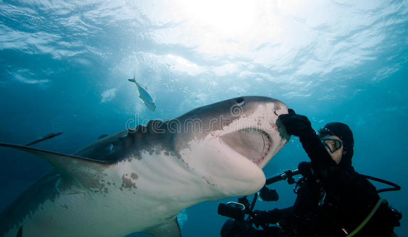 Tigerhai und Taucher stockfotos