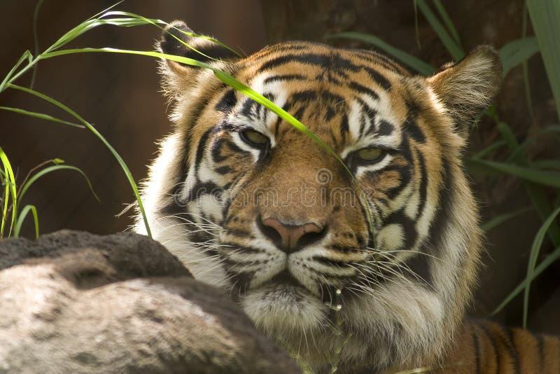 Tigerhauptschuß lizenzfreies stockbild