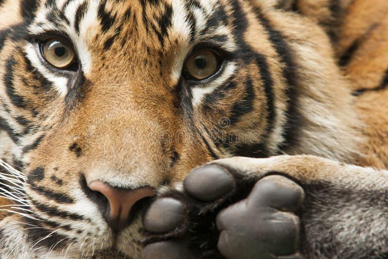 Tigerhuvud och fot royaltyfri fotografi