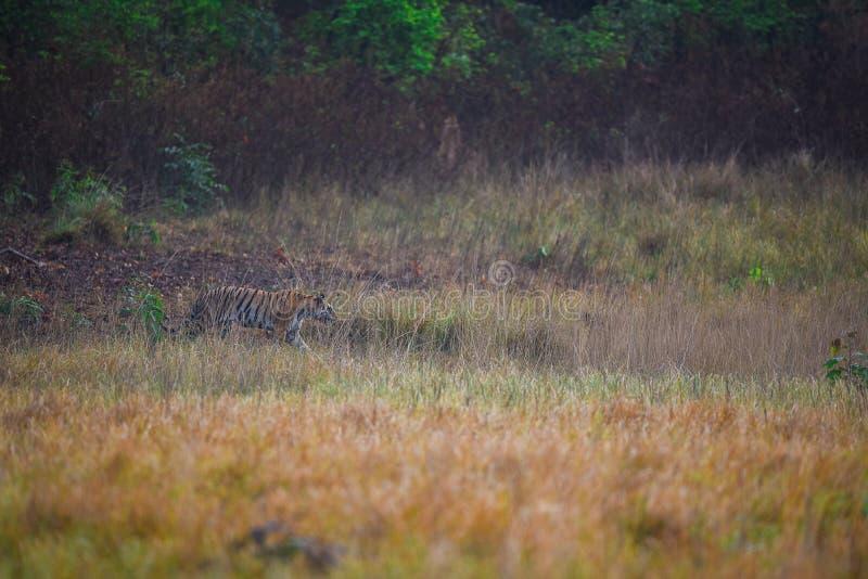 Tigerin auf dem Prowl stockbild