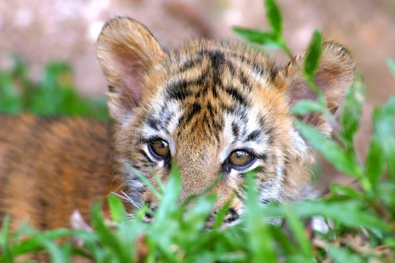 Tigerjunges lizenzfreie stockbilder