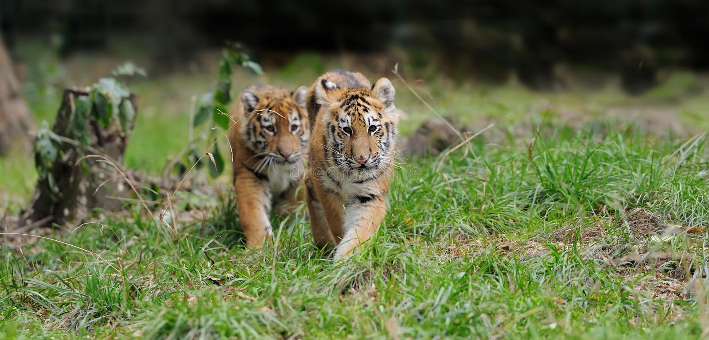 Tigerjunges im Gras stockfoto