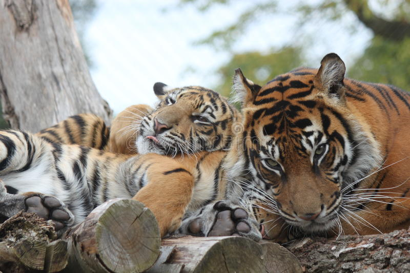 Tigerjunges in ZSL, London-Zoo stockfoto