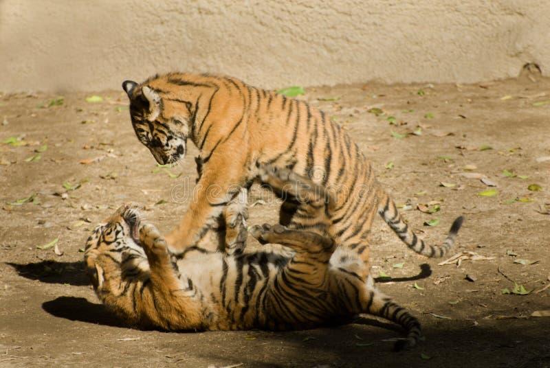 Tigerjungspielen lizenzfreie stockbilder