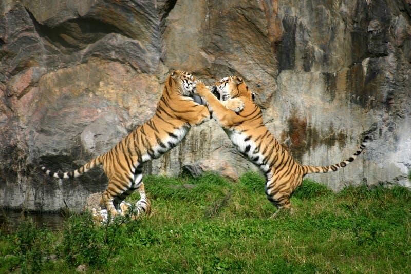 Tigerkampf lizenzfreie stockbilder