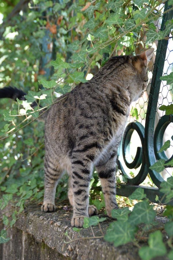 Tigerkatzenwege auf einem Zaun bedeckt mit Kriechpflanzenanlage stockbilder