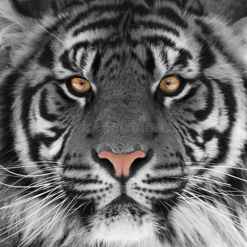 Tigerkopf stockfotos