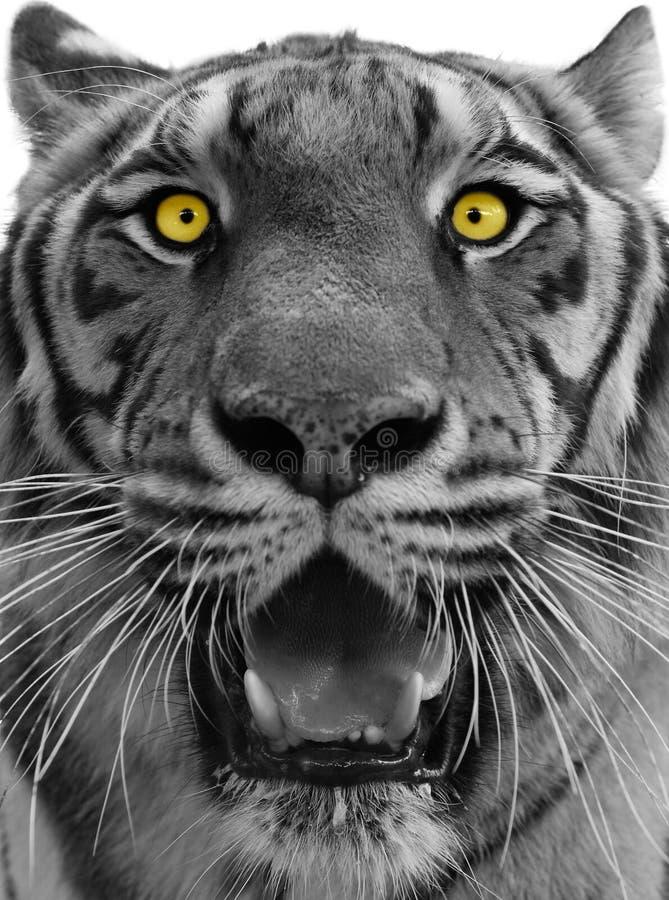 Tigerkopf stockfotografie